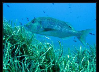 sinarit balığı