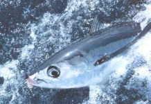 beyaz ton balığı, albacore