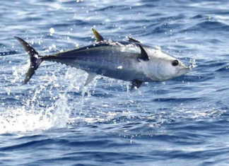 Mavi yüzgeçli orkinos