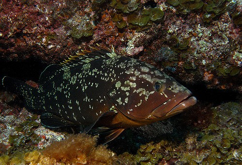 orfoz, grouper