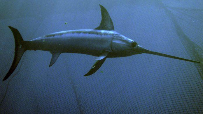 kılıç balığı